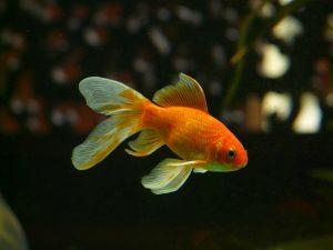 Die Aufmerksamkeitsspanne eines Goldfisches liegt bei 9 Sekunden